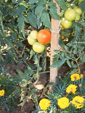 tomaten f r garten balkon terrasse gew chshaus sorten anbau gesundheit rezepte. Black Bedroom Furniture Sets. Home Design Ideas