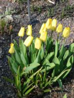 blumenzwiebeln tulpen narzissen krokusse und andere blumenzwiebeln pflanzen. Black Bedroom Furniture Sets. Home Design Ideas