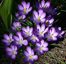 Balkonpflanzen märz  Blumenzwiebeln - Tulpen, Narzissen, Krokusse und andere Blumenzwiebeln